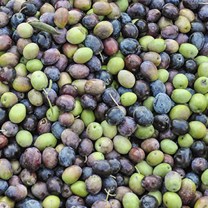 Olive Lamiola Azienda Agricola